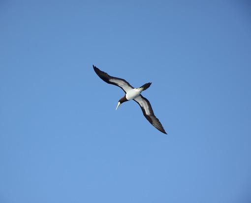16カツオ鳥_6171